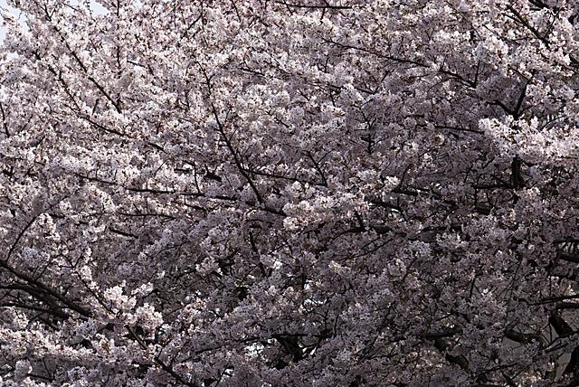 090405_007_桜