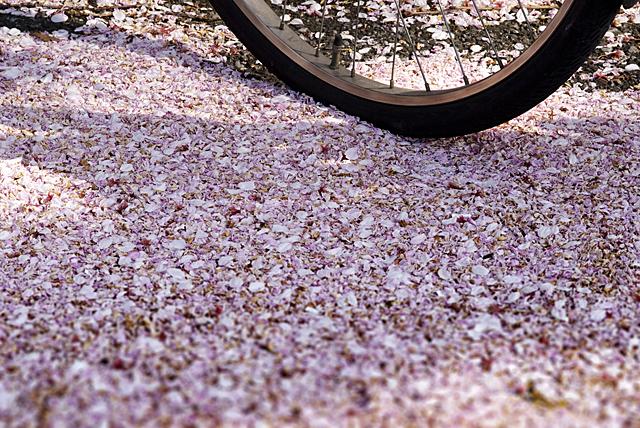 090411_004_散った桜