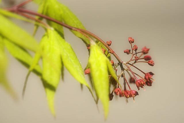 090418_002_楓の花