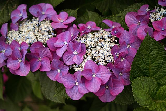090614_001_紫陽花