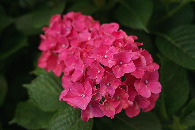 090620_005_赤い紫陽花