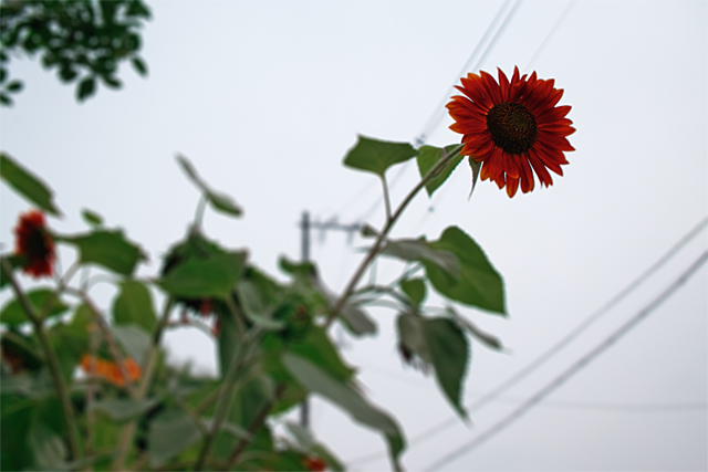 090705_002_向日葵