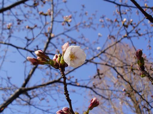 春日公園桜①