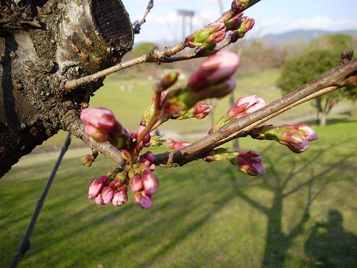 春日公園桜②