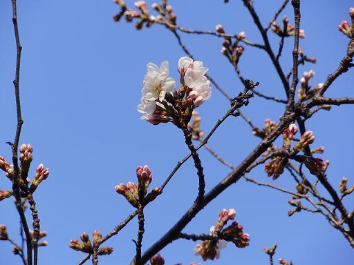 春日公園桜③