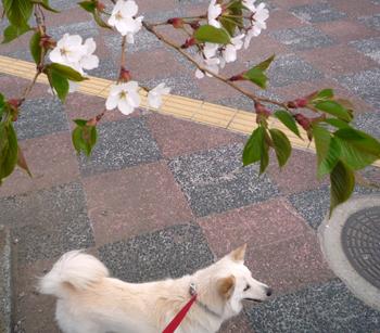 hasakura.jpg