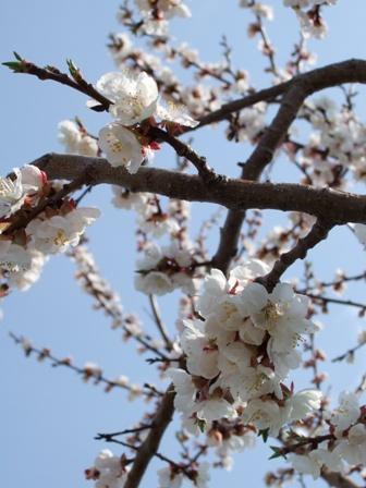 sakura2007_001.jpg