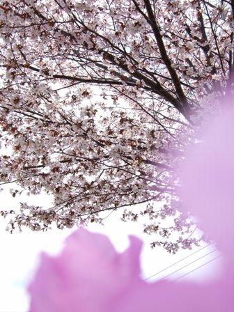 sakura2007_002.jpg
