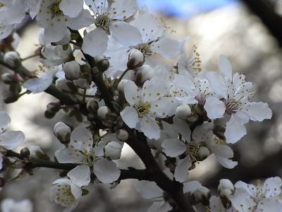 桜に似た花2