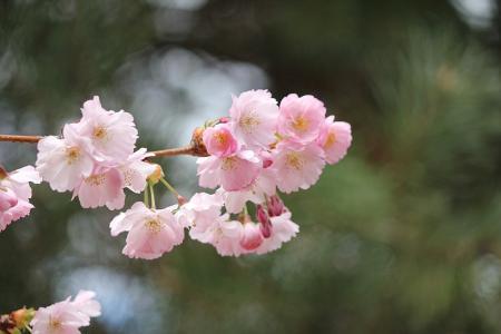 2011桜05