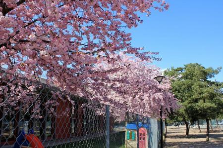 2011桜01