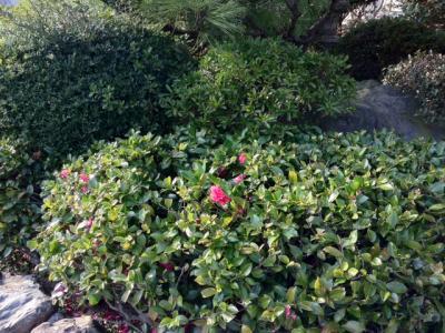 椿(つばき)が咲きました!