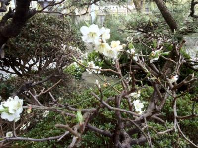 白梅(ハクバイ)の開花
