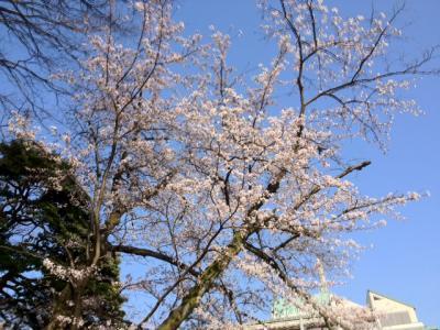 城崎温泉のサクラ開花!今週末には満開?!