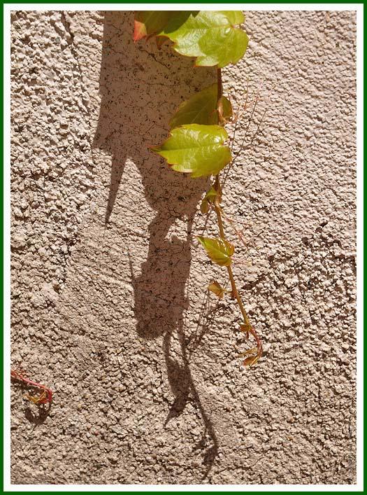 ivy62.jpg