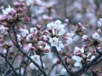 桶狭間の桜が咲くころ