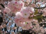 八重桜(一葉)