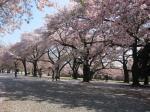 新宿御苑の桜並木