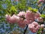 八重桜(江戸)