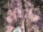 桜を踏みしめる
