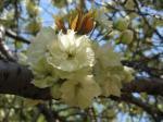 八重桜(ウコン)