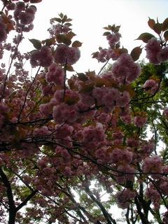 花川戸八重桜1