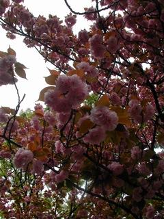 花川戸八重桜2