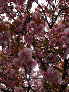 花川戸八重桜3