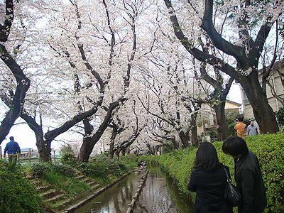 多摩区の桜