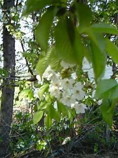 さくらんぼの花