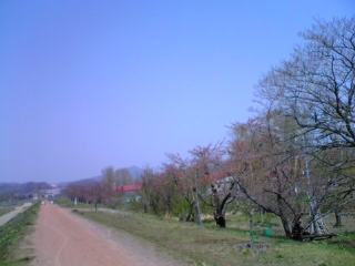 余市川堤防の桜並木