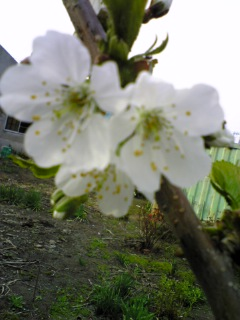 さくらんぼの花(佐藤錦)