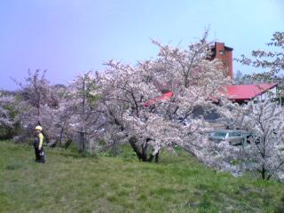 GWの余市川堤防の桜