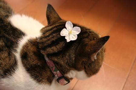 桜キウイ1
