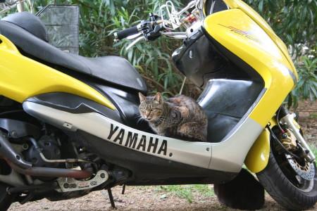 オートバイ猫