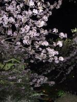 弘前の桜02