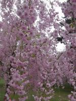 弘前の桜008