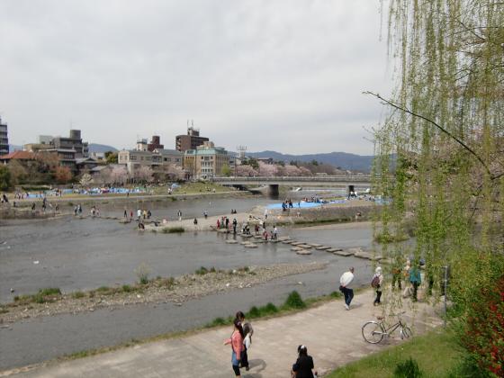 出町柳周辺・鴨川の桜01