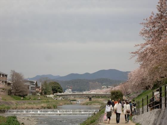 出町柳周辺・鴨川の桜02