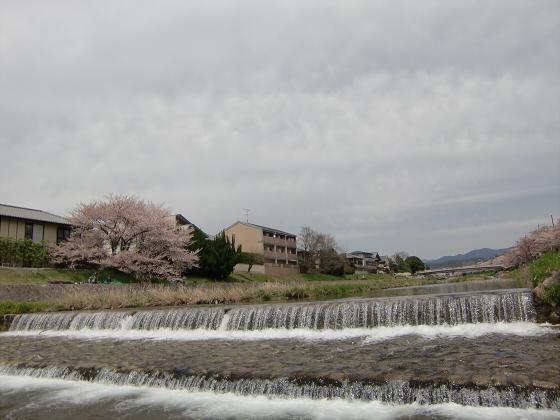 出町柳周辺・鴨川の桜04