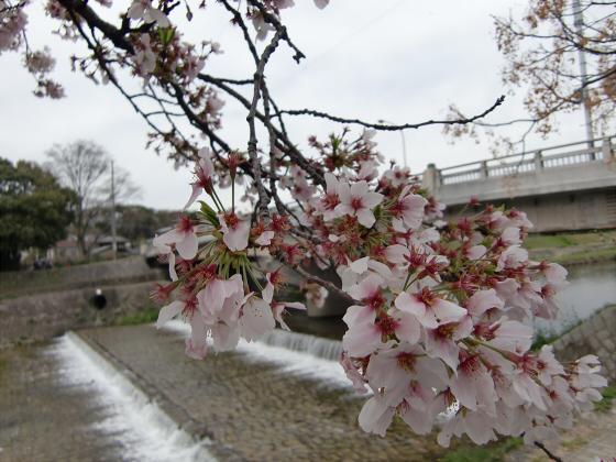 出町柳周辺・鴨川の桜05
