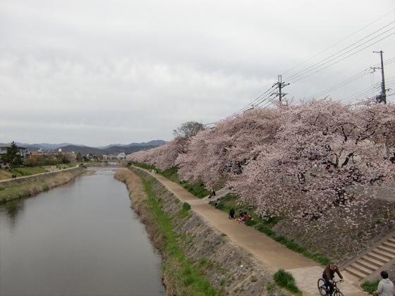 出町柳周辺・鴨川の桜06