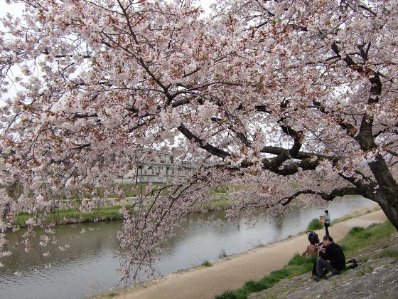 出町柳周辺・鴨川の桜08