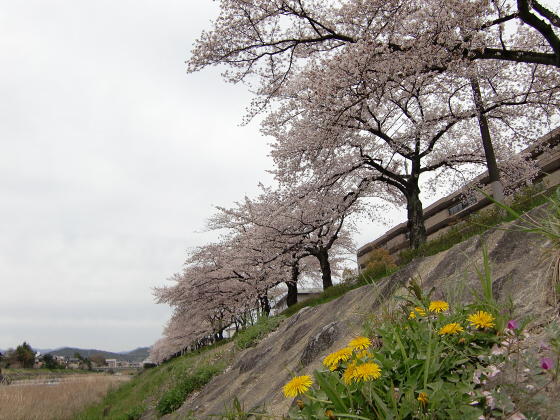 出町柳周辺・鴨川の桜09