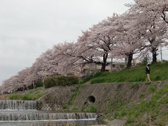 出町柳周辺・鴨川の桜10