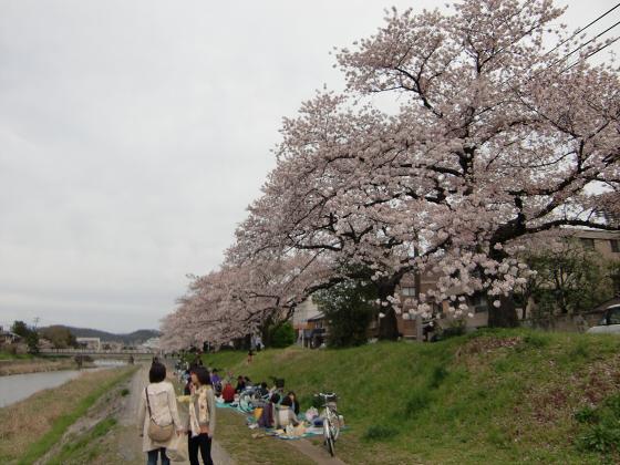 出町柳周辺・鴨川の桜12