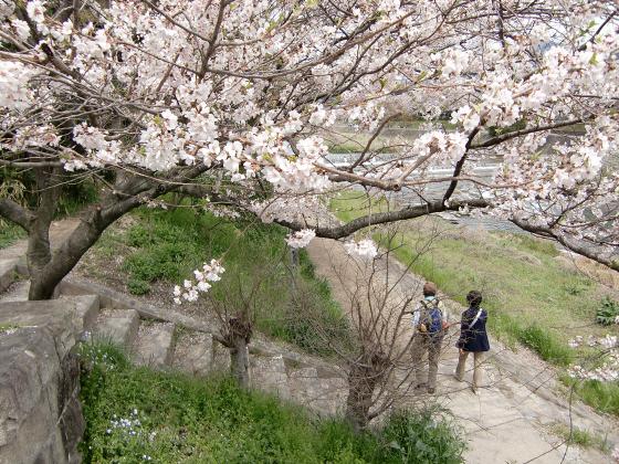 出町柳周辺・鴨川の桜16