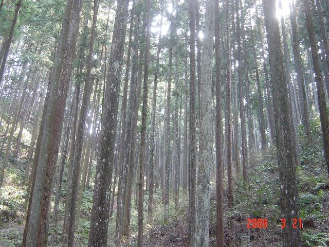 管理された林