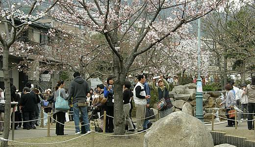 岡本南公園観桜会2011(2)-1