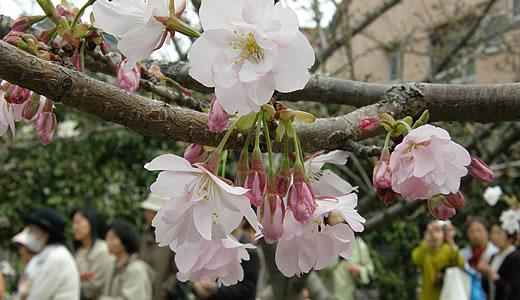 岡本南公園観桜会2011(2)-2